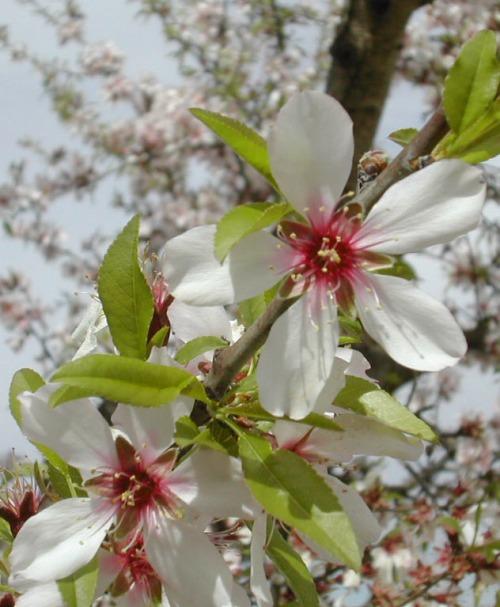 flor-almendro