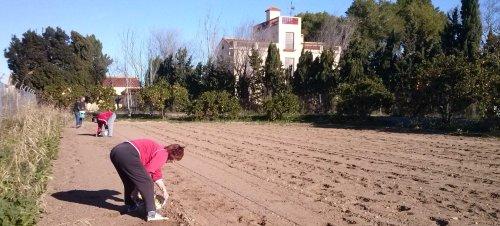 El pasado mes de enero plantando patatas